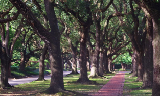 Large oak trees along brick path